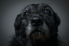 Portrait of a black dog against a black backdrop. In a studio royalty free stock images