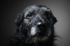 Portrait of a black dog against a black backdrop. In a studio royalty free stock photography