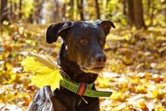 Portrait of Black dog in autumn park. Stock Image