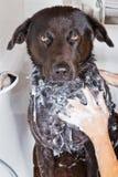 Dog in a bath tub. Portrait of a black dog in a bath tub with a hand washing its fur royalty free stock photo