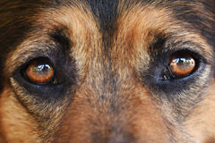 Portrait of a black dog. With brown eyes Stock Photography