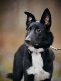 Portrait of a black dog. Royalty Free Stock Images