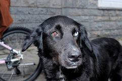 Portrait of a black dog with eyes of different colors Stock Image