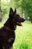 Portrait of a black dog German shepherd stock photo