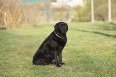 Portrait of a black dog. Stock Photography