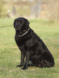 Portrait of a black dog. Royalty Free Stock Image