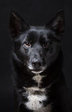 Portrait of a Black Dog. Black dog looking at the camera, 2 years old Royalty Free Stock Photography