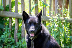 Portrait of a black dog Royalty Free Stock Images