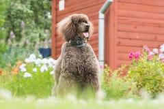 Portrait of black dog Royal poodle Stock Photography