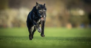 Portrait of a black dog running fast outdoor royalty free stock images