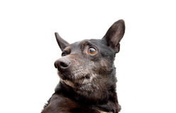 Portrait of a black dog Stock Image