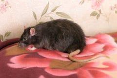 Black domestic rat on a blanket Royalty Free Stock Photos
