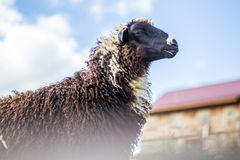 Black Domestic Sheep Royalty Free Stock Photography