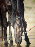 Portrait of black drinking horse from river Stock Photo