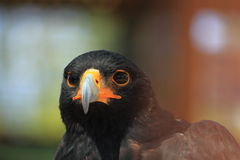 Portrait of black eagle Stock Photo