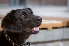 Portrait of a black eared dog in the city. Her ears are like women`s hair - bob Royalty Free Stock Photo