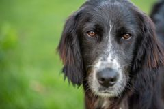 Portrait of a black english setter mix royalty free stock photos