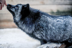 Portrait of black fox in the aviary Stock Image