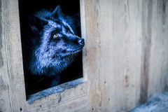 Portrait of black fox in the aviary Stock Photo
