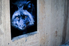 Portrait of black fox in the aviary Stock Photography