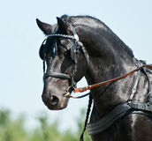 Portrait black friesian horse carriage driving Royalty Free Stock Photography