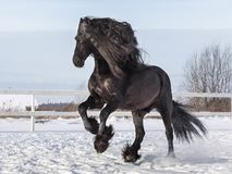 Portrait of a black friesian horse royalty free stock photography