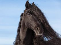 Portrait of a black friesian horse royalty free stock photo