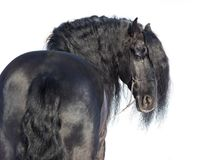 Portrait of a black friesian horse. With the mane flutters on wind. white background. Isolated stock images