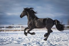 Portrait of a black friesian horse. With the mane flutters on wind stock photography