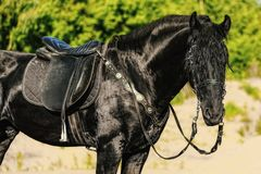 Portrait of black Friesian horse in summer. Autumn in the field stock photos
