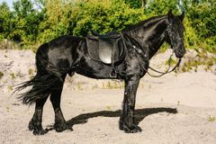 Portrait of black Friesian horse in summer. Autumn in the field stock photography