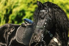 Portrait of black Friesian horse in summer. Autumn in the field stock images