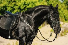 Portrait of black Friesian horse in summer. Autumn in the field stock image