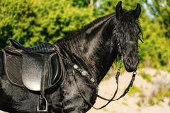 Portrait of black Friesian horse in summer. Autumn in the field royalty free stock photography