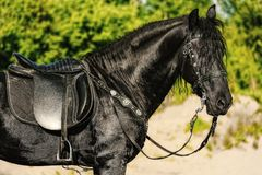 Portrait of black Friesian horse in summer. Autumn in the field royalty free stock photos