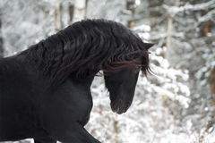 Portrait of black Friesian horse on winter background Royalty Free Stock Image