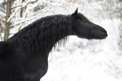 Portrait of black Friesian horse on winter background Royalty Free Stock Images