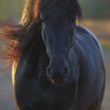 Portrait of the black Frisian horse in freedom Royalty Free Stock Photos