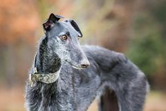 Portrait of a black Galgo Espanol stock photos
