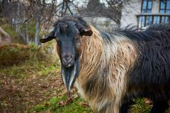 Portrait of black and red goat stock images