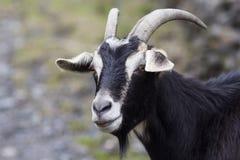 Portrait of a black goat Stock Image