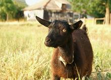 Black Goat Portrait Royalty Free Stock Photos
