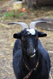 Portrait of black goat. In the outdoor farm Stock Photography