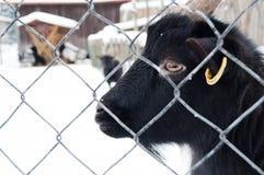 Black Goat portrait Stock Photos
