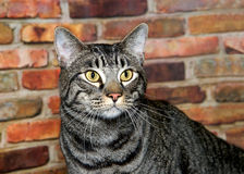 Portrait of a black and gray tabby cat. Portrait of one black and gray domestic tabby short hair cat with yellow eyes, looking to viewers right. Sitting in front Stock Photos