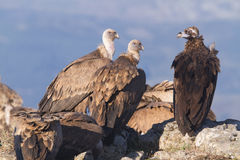 Portrait of black and griffon  scavenger vultures Stock Images