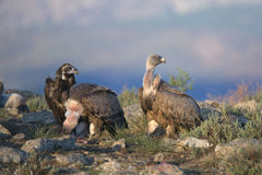 Portrait of black and griffon  scavenger vultures Stock Photo