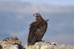 Portrait of black and griffon  scavenger vultures Stock Photography