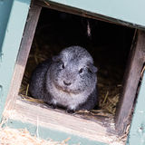 Portrait of a black guinea pig royalty free stock photography