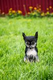 Portrait of black hairless puppy breed chinese crested dog sitting in the green grass on summer day. Portrait of cute black hairless puppy breed chinese crested stock images